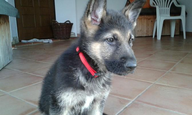 Milo,Germanshepherd,dog,trekking