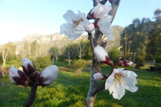 Almonds, nuts, blossom, Sardegna