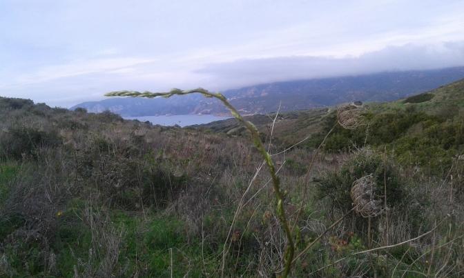 Asparagus, Sardegna,
