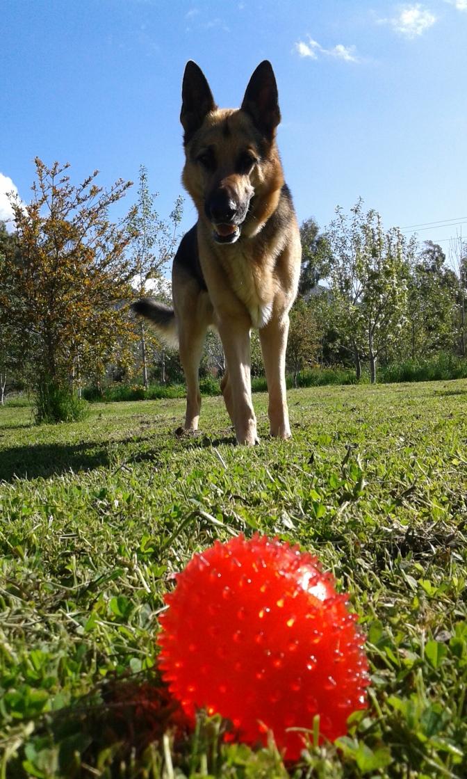 Dog, German shepherd's,