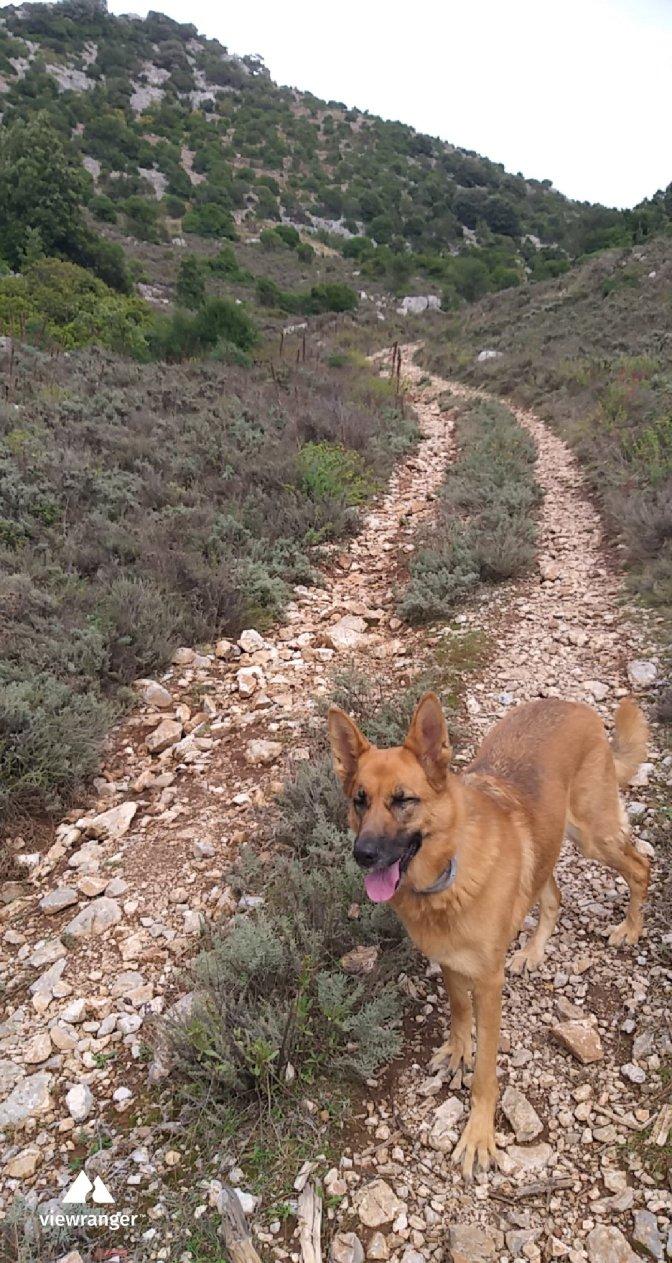 German shepherd,dog, Sardegna